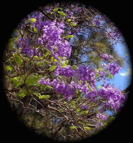jacaranda photo