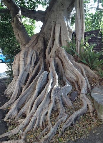 fig tree love