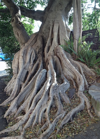 fig tree love