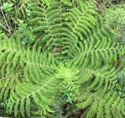 tree fern radiate art