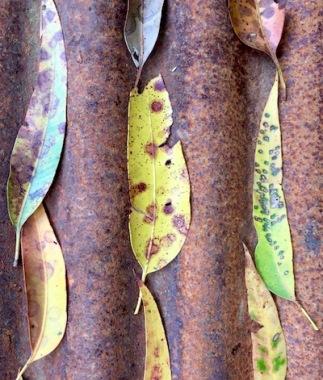 art leaf Swain photo